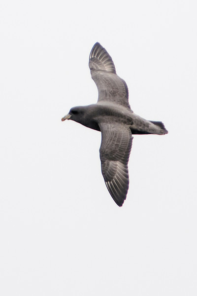 Here's a dark version of a Northern Fulmar.  Fulmars often follow ships and eat garbage that is discarded from on board.  Our boat crew tossed out a nearly constant supply of fish pieces from the back of the boat.  This is called chumming and that's what attracted the birds.