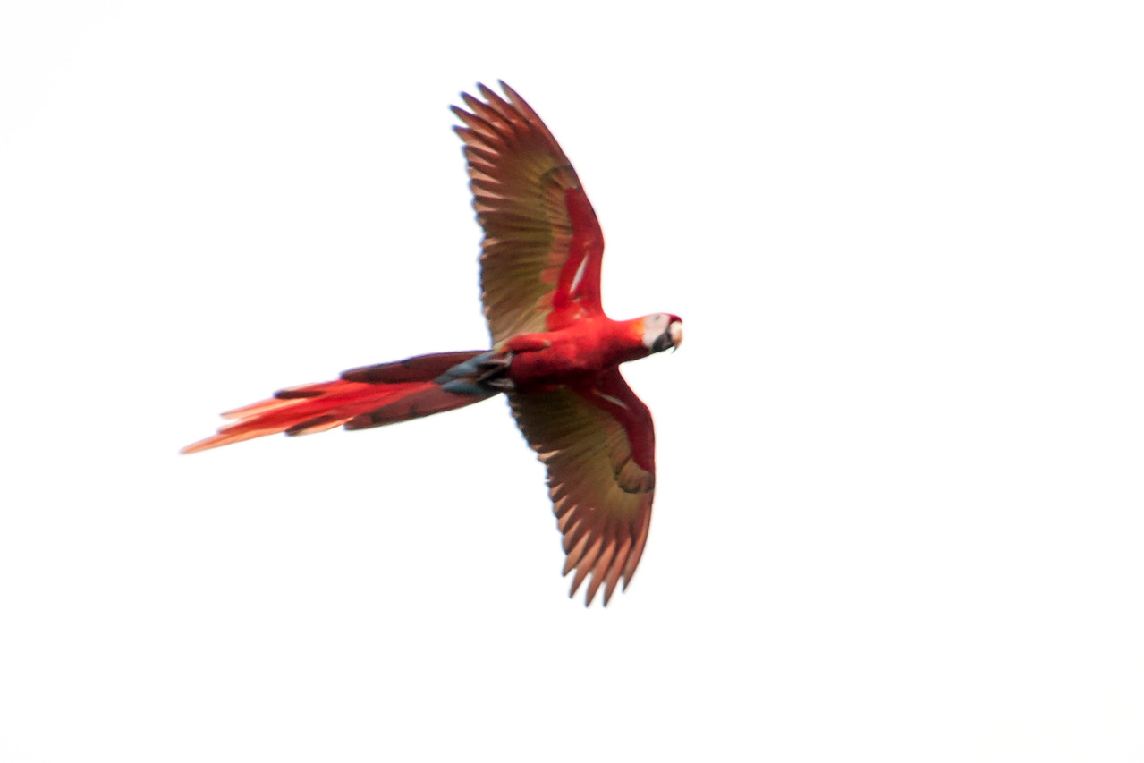 Scarlet Macaws are 32 inches long; the long, flowing tail makes up over half that length.  They weigh just over 2 pounds.  Macaws have a lifespan of 40 to 50 years but can live up to 75 years in captivity.  This is one of the macaws we saw near the town of Jaco.