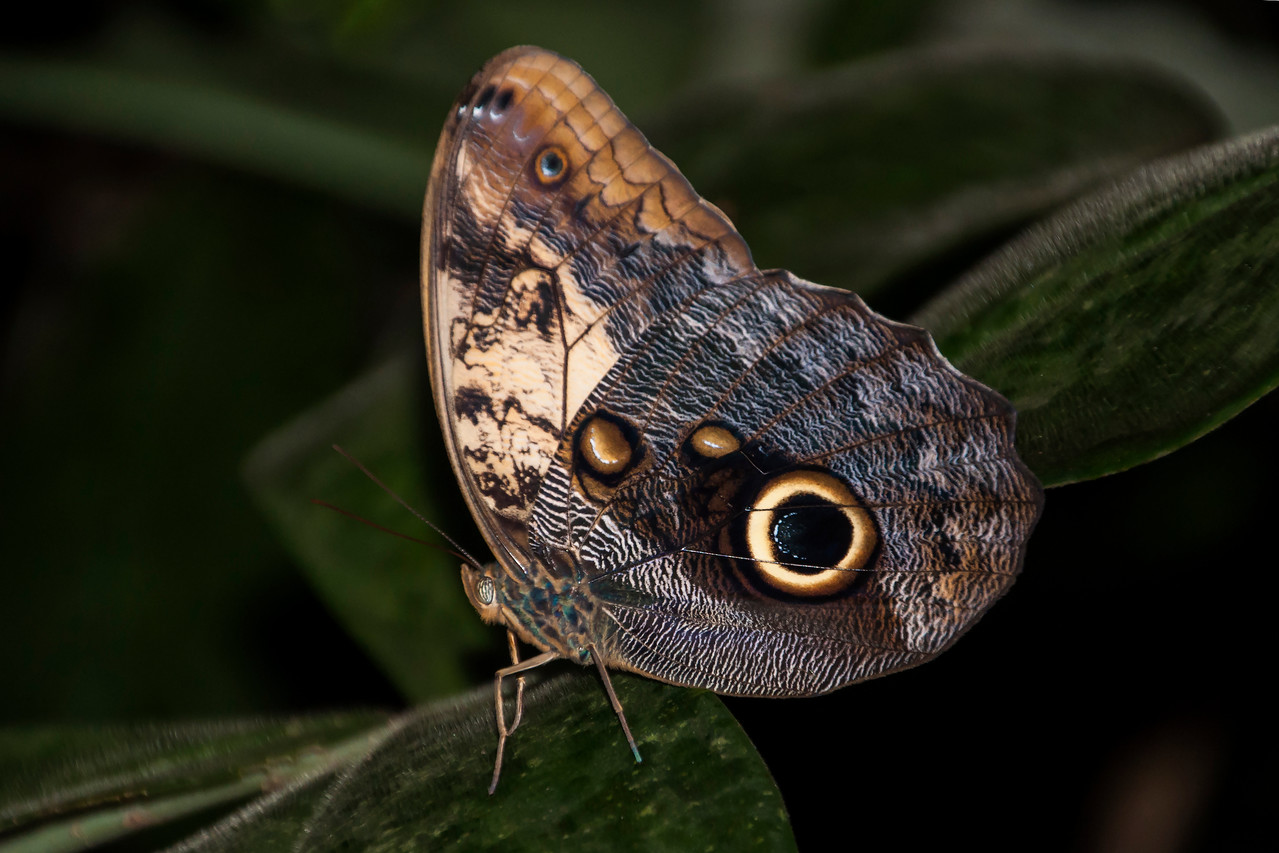 During our stay at Arenal Observatory Lodge we visited a hot spring area.  I found this Owl Butterfly along a boardwalk.