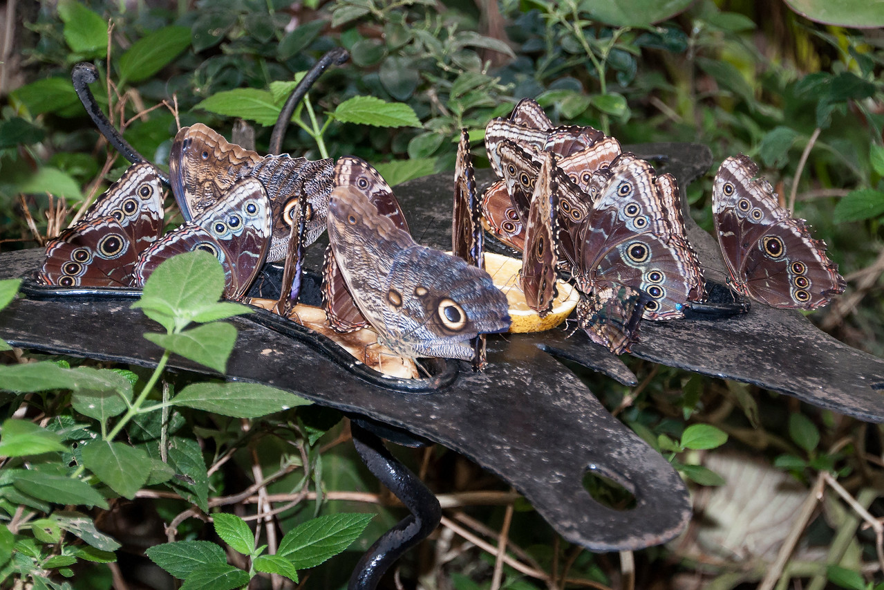 """Several feeding stations were filled with fruit for the butterflies.  The Blue Morphos were very interested in the oranges and bananas.  Right in the center of the photo is a butterfly that looks like a Blue Morpho but it doesn't have as many """"eye spots.""""  That's an Owl Butterfly."""