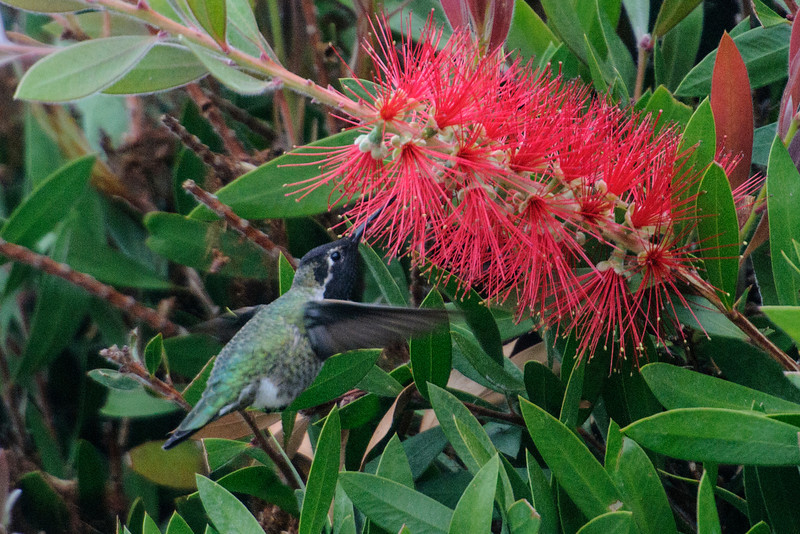 The nectar from these bottle brush flowers was popular with the hummingbirds.  They also eat lots of spiders and other insects.  This photo gives a good view of the iridescent feathers on the head and neck.  Of course they're black in this picture because the light is not from the right angle.  Also note the white eye stripe, another distinguishing feature of this species.