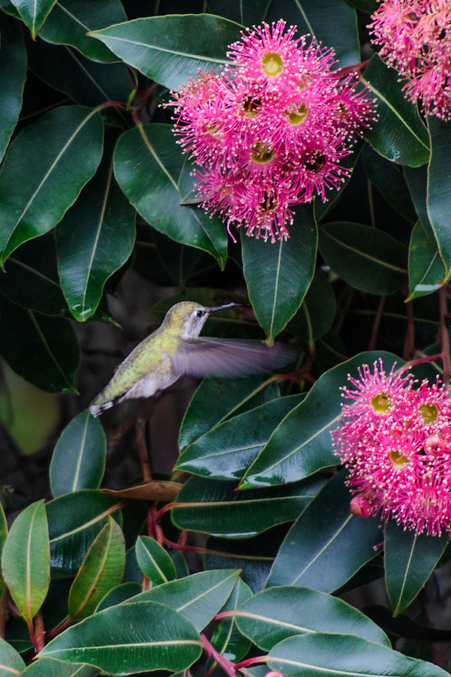 This flowering tree was in full bloom when we visited the Mendocino Coast Botanical Gardens in Fort Bragg, California.  There were lots of Anna's Hummingbirds buzzing around this tree and here is one of the females.  Anna's Hummingbirds are found all along the west coast of the United States and in southern New Mexico.    Most of them stay where they are year-round but some migrate to northwestern Mexico for the winter.