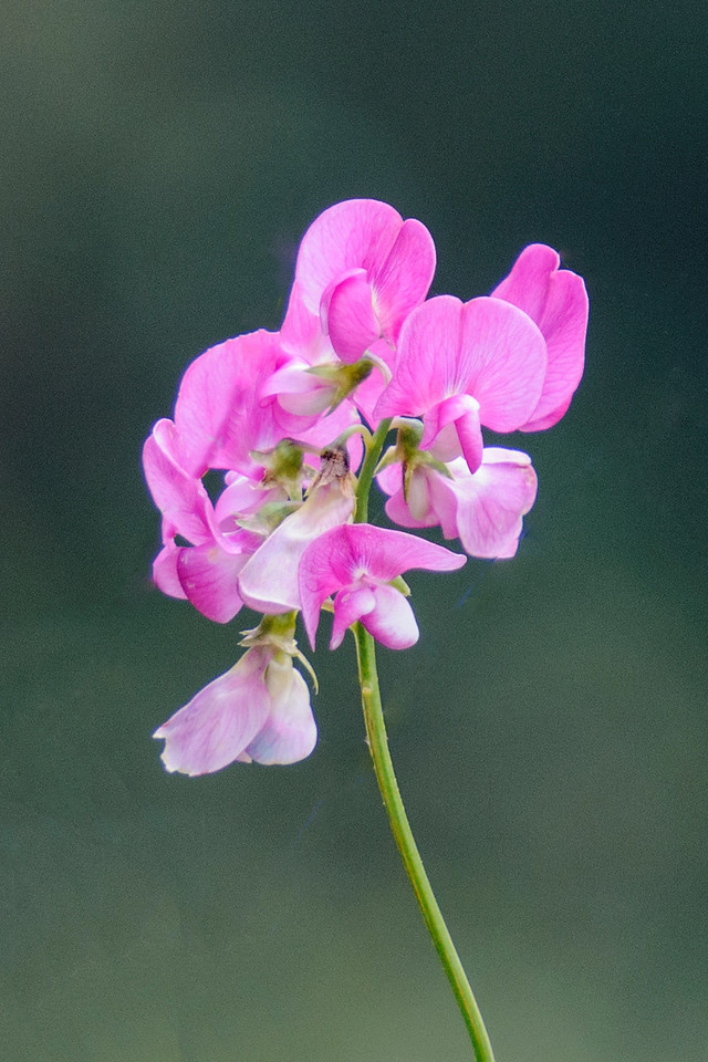 In Brookings, Oregon, I took a photo of this Beach Pea.