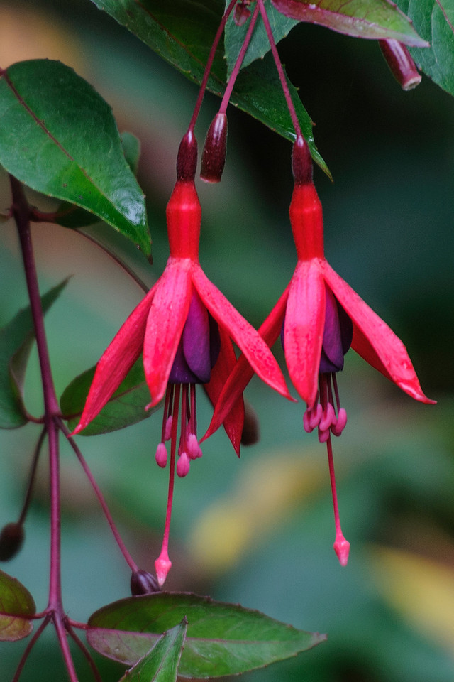 Here are some Fuschia blossoms.  We have often purchased a hanging pot of these flowers in spring and then hung them outside at our lake home for the summer.  We were amazed to see them growing as a large bush in California.