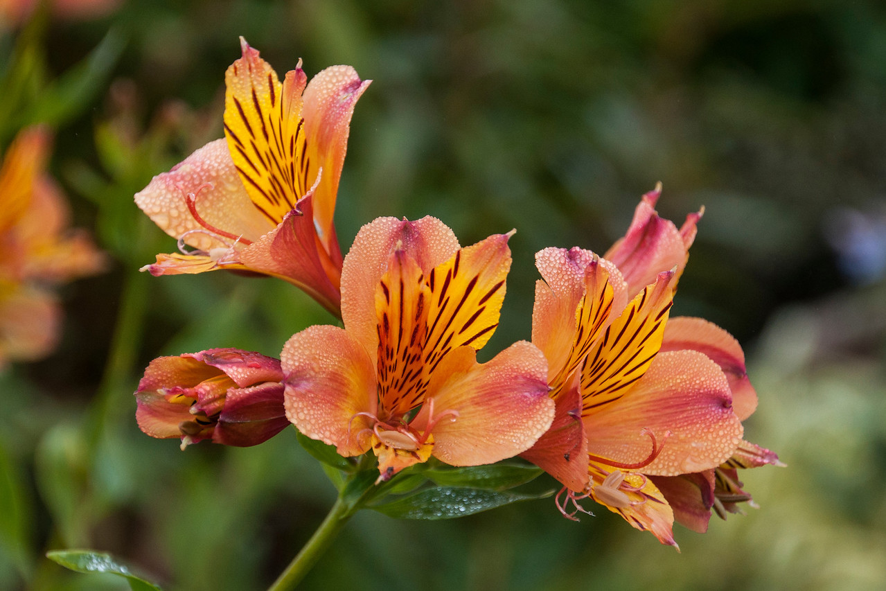 Here are some flower photos taken on our west coast trip last fall.  The first four were all taken at Mendocino Coast Botanical Gardens in Fort Bragg, California.  These are Alstroemeria, one of Diana's favorite flowers.