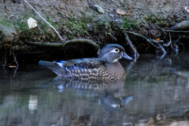 I visited Oak Canyon Nature Center in Anaheim, California, last fall.  There was a small stream running through the park and some Wood Ducks were on the water.  This female was in dark shadows but I decided to try a photo anyway.  I had to reduce my camera's shutter speed to 1/13th of a second.  Fortunately, the camera was on a tripod and the duck wasn't moving, so the photo is quite sharp.  I really like the way the iridescent colors of her back feathers stand out.