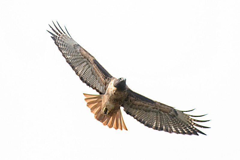 This Red-tailed Hawk was also photographed in Cambria, California.  The tail leaves no doubt about which species it is.