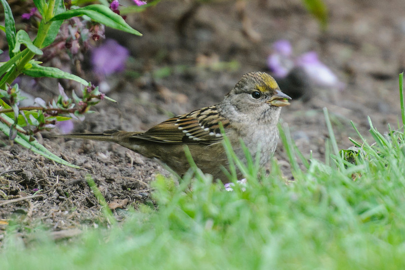 "This is a Golden-crowned Sparrow, a species we rarely see here in the Midwest.  It nests in Alaska and western Canada and migrates to Washington, Oregon, and California for the winter.  At 7¼"" it's one of our larger sparrow species.  Notice the bi-colored bill.  In breeding plumage it develops a broad, black border to the gold on its crown."