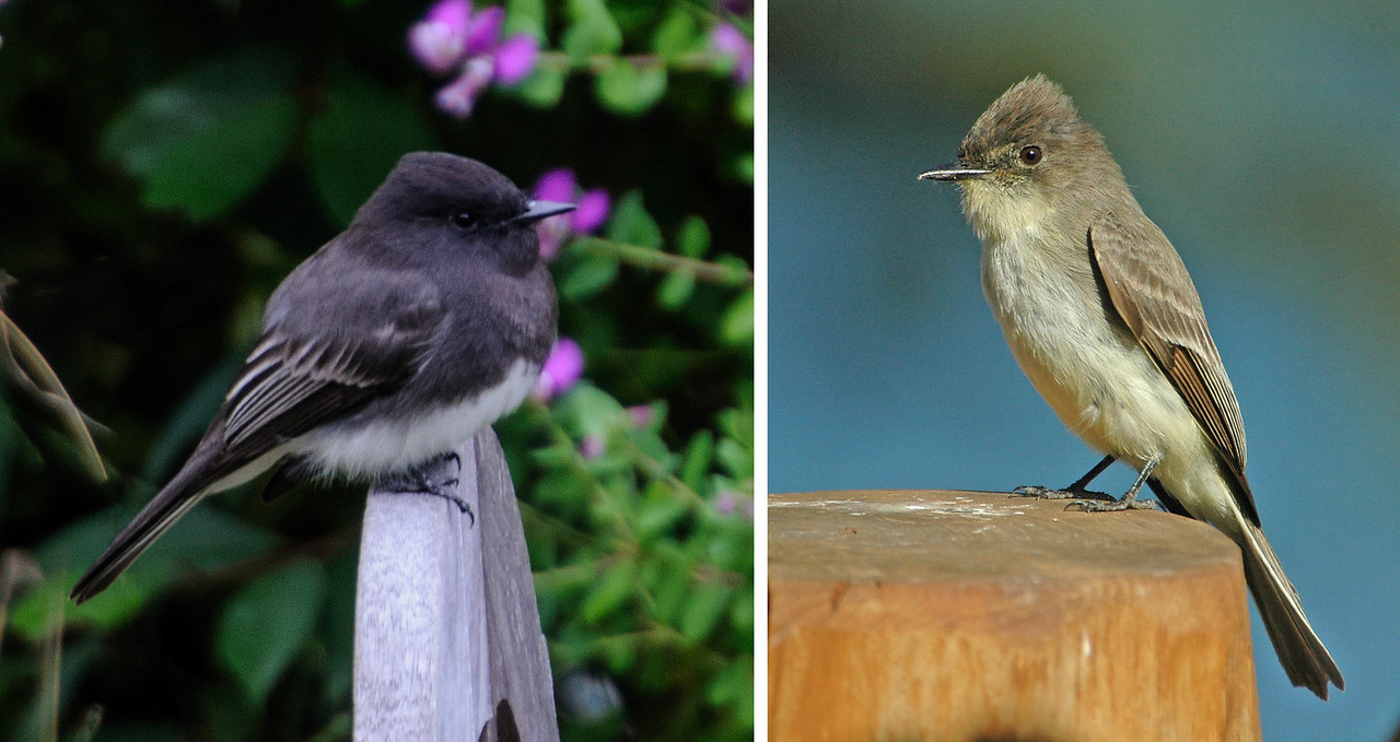 The Black Phoebe on the left was photographed in Pacific Grove, California.  The Eastern Phoebe on the right was photographed at our home in northern Minnesota.  In the United States, Black Phoebes are found in California and southern parts of Arizona, New Mexico, and Texas.  They are year-round residents and their range extends all the way to Argentina.  Eastern Phoebes are found across the eastern half of the United States and into central Canada in the summer.  Some stay in the southern United States in winter but many of them migrate to the tropics.