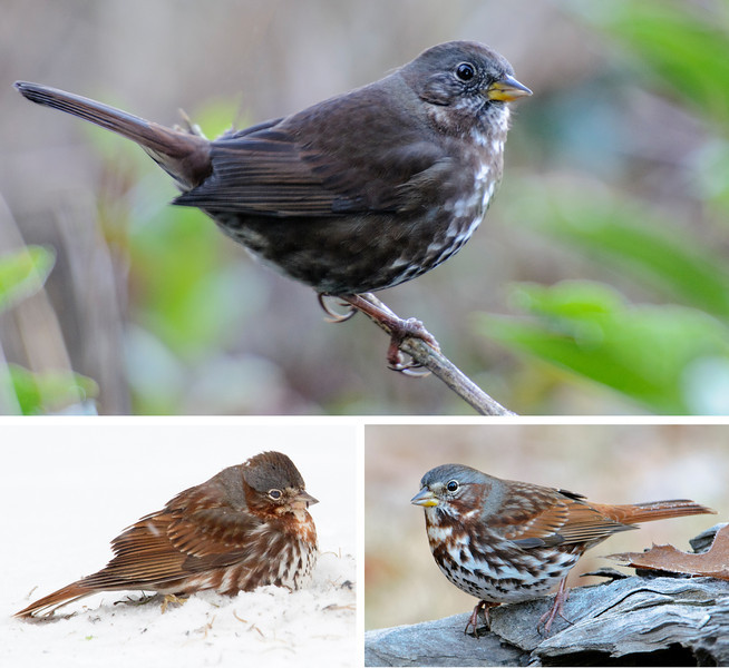 There are four different sub-species of Fox Sparrows in North America.  Some people think they should be separate species.  The bird in the top photo, taken in Bandon, Oregon, is the darkest and is known as the Sooty sub-species.  Its range is strictly along the west coast of Canada and the United States.  The Fox Sparrows shown in the bottom photos were at our home in northern Minnesota.  They are much redder in color.  This is the Taiga sub-species, seen in most of Canada and the entire eastern United States.