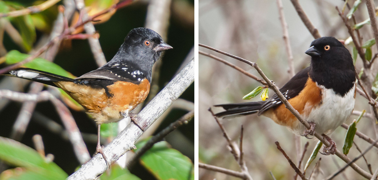 The Spotted Towhee on the left was photographed at China Creek in Bandon, Oregon, and the Eastern Towhee on the right was photographed at Salinas Park in northern Florida.  At one time they were considered to be the same species, the Rufous-sided Towhee.  They look very much alike except for the white spots on the Spotted Towhee's back.