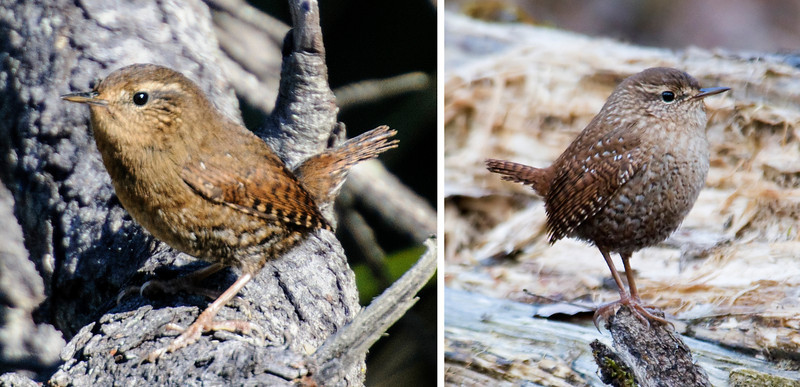 The bird on the left is a Pacific Wren photographed at Devil's Kitchen in Bandon, Oregon.  The bird on the right is a Winter Wren photographed at our home in northern Minnesota.  Until a couple of years ago, they were considered to be the same species and were both called Winter Wren.  They have different songs that are very beautiful and complex.  Both of these wrens are found in western Canada but they still maintain their separate songs.  Because of that fact, and the examination of their DNA, it was decided to separate them into different species.