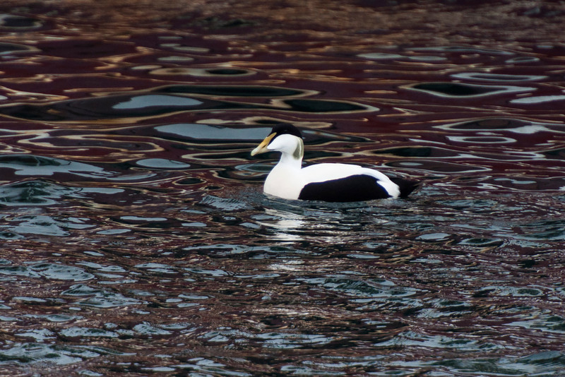 This is one of my favorite photos of the whole trip.  This male Common Eider was swimming in the Heimaey Island harbor off the southern coast of Iceland.  The reflections from a nearby ship made beautiful patterns on the water.