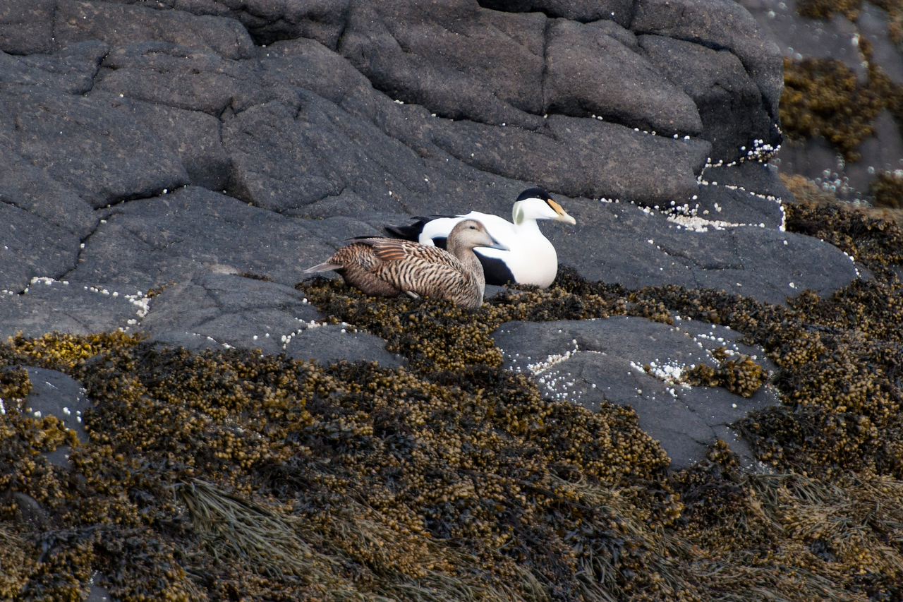 Common Eiders are found all around the globe in cold northern seas.  They stay pretty close to rocky shorelines and are not usually found inland.  This pair was resting on a typical rocky shoreline.  We saw them during a boat trip around the Breiðafjörður Islands near Stykkishólmur, Iceland.