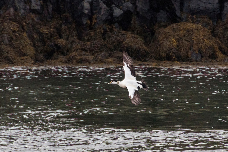 Here's a male in flight, photographed in Borgarnes, Iceland.