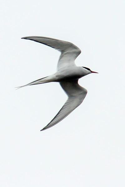 Q: What bird has the longest migration route in the world?  A: The Arctic Tern.  With its aerodynamic shape and those long wings, this bird is built for flying.  During our northern hemisphere summer it nests all around the North Pole as far south as the British Isles and Maine.  It then flies south all the way to the Antarctic area and stays there for the southern hemisphere summer.  Then it's back to the Arctic again for nesting.  I've seen estimates for that round trip of 22,000 to 25,000 miles.  This photo was taken in the town of Borgarnes.