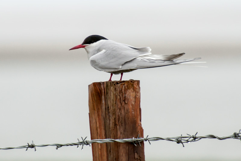 The only tern species likely to be found in Iceland is the Arctic Tern.  It's an elegant, medium-sized tern with a length of 15 inches.  However, that includes a very long tail.  This photo was taken on the Snæfellsnes Peninsula.