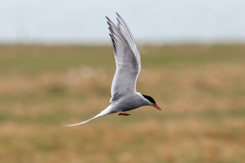 In the air, Arctic Terns are fast and agile flyers.  They have very long pointed wings and a wingspan of 31 inches.  This tern was coming in for a landing near the town of Arnarstapi.