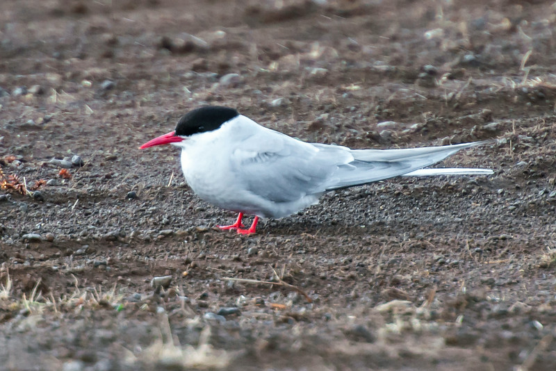 This photo emphasizes the extremely short legs of the Arctic Tern.  In breeding plumage, the legs, feet, and bill are bright red.  In non-breeding plumage, the legs, feet, and bill are black.  The eye is black and is well hidden by the feathers of its black cap.  I took this photo in the town of Rik.