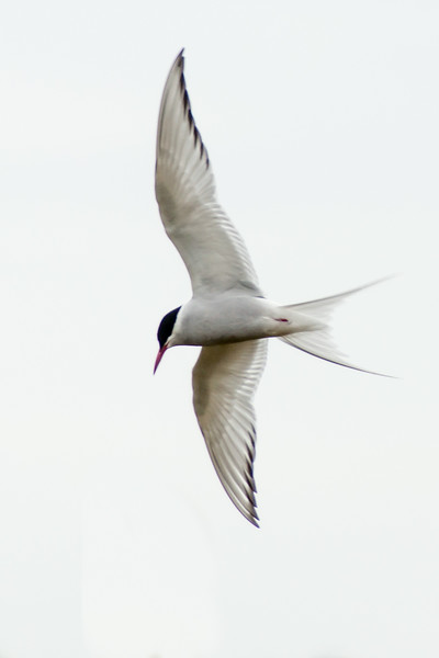 During nesting season, Arctic Terns are ferocious defenders of their eggs and young.  They have no fear of diving at any intruder, including humans.  They have another weapon at their disposal; they drop whitewash bombs on their victims!