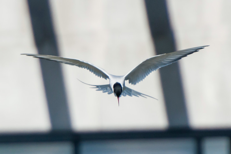 I know this picture has some distracting structures in the background but I really like this view of an Arctic Tern.  It was hovering over a pool in Reykjavik searching for small fish.  I like seeing the concentration of the bird.  I also like the way it uses those long, thin wings and spread tail to remain in place as it scans the water below.