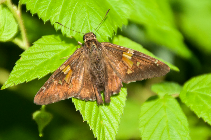 One subset of butterflies is called Skippers.  This is a Silver-spotted Skipper.  I found it in the large raspberry patch that surrounds our wind turbine.