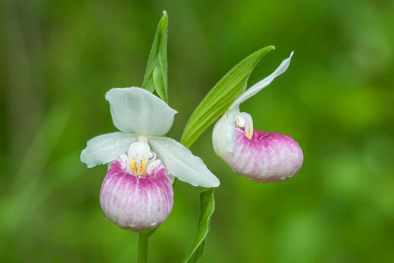 "This is our state flower, the Showy Lady's Slipper.  I was pleased to find this pair of blossoms because, together, they show a front and side view of this beautiful flower.  The side view is very interesting; the large white petals almost disappear when seen from that direction.  The side view also gives a better look at the ""slipper"" shape that gives this flower part of its name."