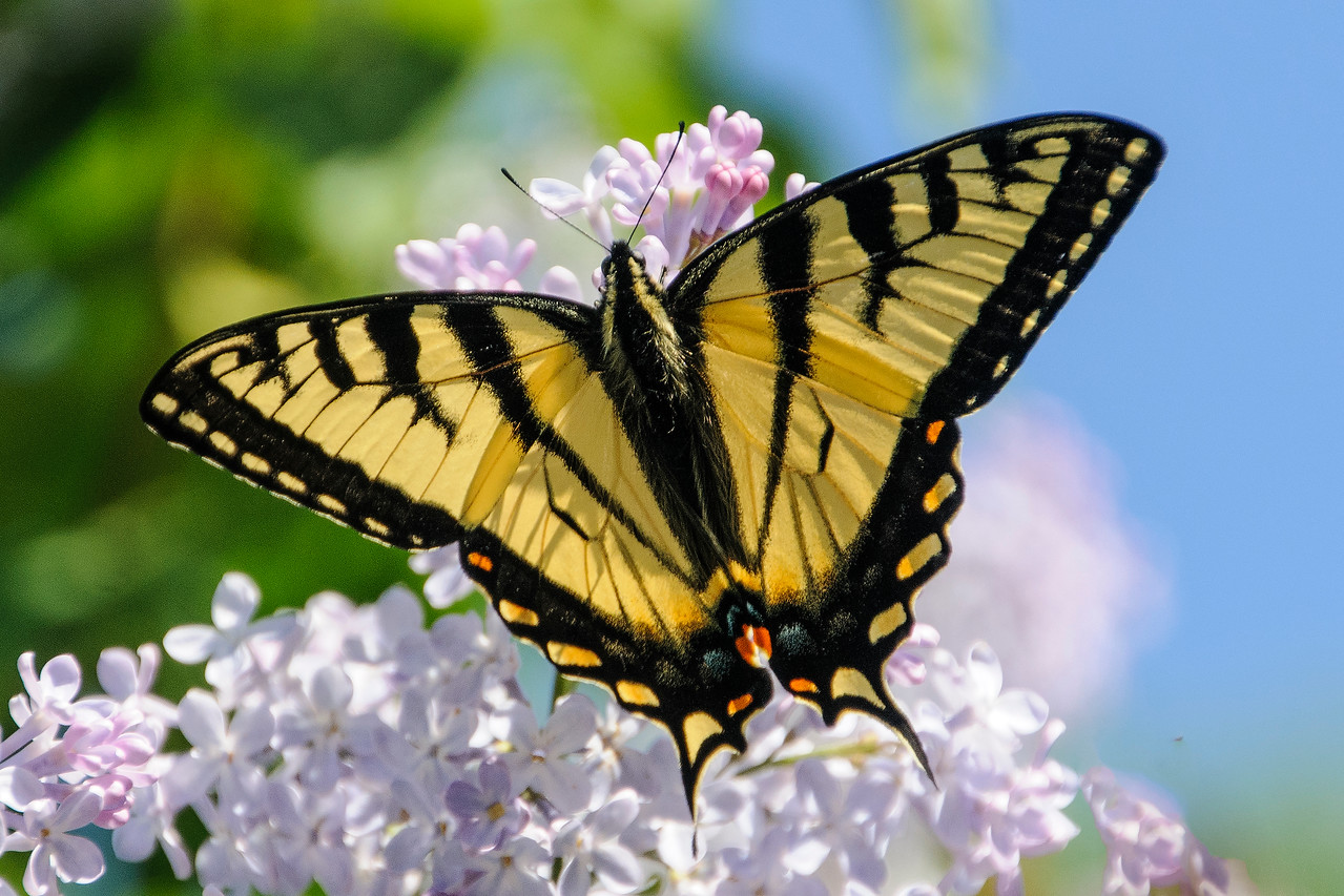 This is a Canadian Tiger Swallowtail butterfly.  Back in June, when our Lilac bushes were blooming, we had at least a dozen of these butterflies gathering nectar from the purple blossoms.  Minnesota also has an Eastern Tiger Swallowtail butterfly which looks very similar to this one.  However, the Eastern Tiger Swallowtail isn't usually found as far north as our home near Grand Rapids.