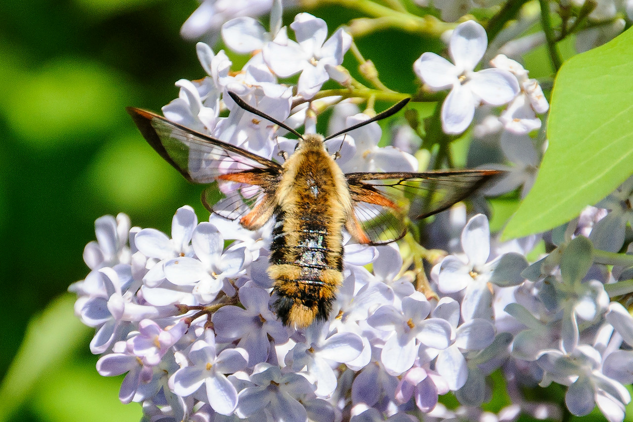 "Another visitor to our Lilac blossoms was this Snowberry Clearwing moth.  It's one of several moth species that are often referred to as ""hummingbird moths.""  It's shaped like a hummingbird and is about the same size.  It also hovers near flowers and takes nectar from them.  Like a hummingbird, its wings beat so fast you can hardly see them.  This moth is not very common so I was pleased to see one and get a nice photo of it."