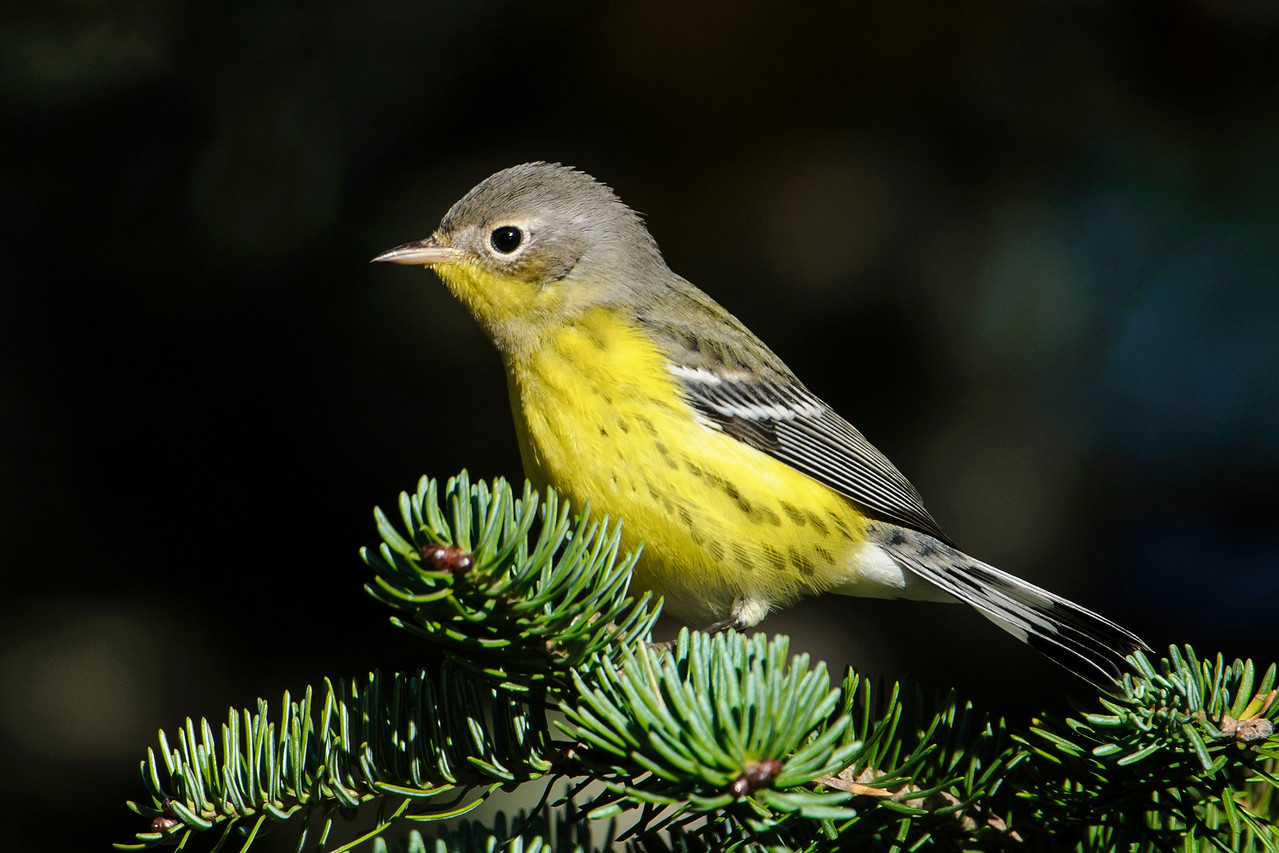 This Magnolia Warbler was also along Park Hill Road.  Most Magnolia Warblers nest in Canada.  However, their breeding range does extend into northeastern Minnesota so this one might, or might not, be migrating already.