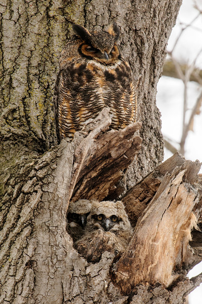 "Two years ago I wrote about a pair of Great Horned Owls that nested in Silverwood Park, only about a mile from our office in New Brighton.  Here's a link to that story:  <a href=""http://www.earlorfphotos.com/Pictures-of-the-Week/2012-Pictures-of-the-Week/April-22-2012-Baby-Owls/22559893_rvcX9x#!i=1805527568&k=6zXPZhQ"">http://www.earlorfphotos.com/Pictures-of-the-Week/2012-Pictures-of-the-Week/April-22-2012-Baby-Owls/22559893_rvcX9x#!i=1805527568&k=6zXPZhQ</a>   Last year the owls tried a different nest location but were unsuccessful.  This year they are back to the 2012 location and are successfully raising two babies.  I was fortunate to get a photo that includes both of this year's babies and one of the adults."