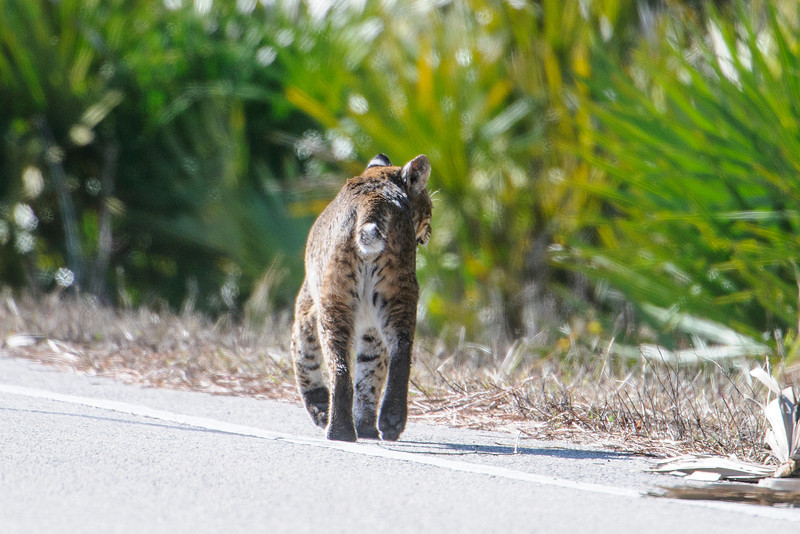 My friend, John Murphy, and I were standing behind my car eating lunch.  My camera was in the back seat for safe keeping while we ate.  As luck would have it, this Bobcat came sauntering out of the brush about 30 feet away and stood there looking at us.  Great photo opportunity and me without my camera!  By the time I got the camera, all I could get was this butt shot as the Bobcat crossed the road and disappeared into the Saw Palmettos.