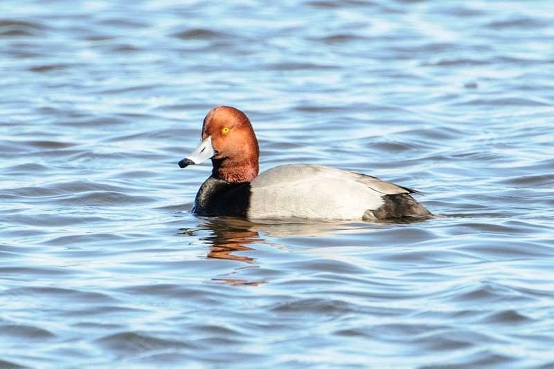 Redheads are common in Florida during the winter.  I often see hundreds of them in flocks on the Gulf of Mexico.  This is a male; that penetrating yellow eye seems to be giving me a very critical stare.