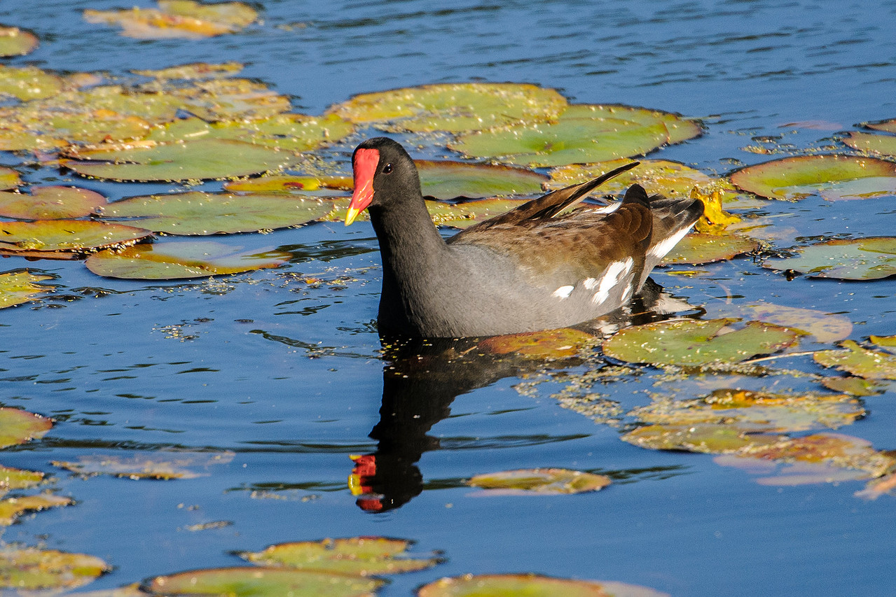 This bird, with its colorful red and yellow beak, recently had its name changed from Common Moorhen to Common Gallinule.  The beak always reminds me of corn candy that's available at Halloween.  These chicken-sized birds are year-round residents along the Gulf and Atlantic coasts.  They nest in most of the eastern United States and a few have even nested in Minnesota.
