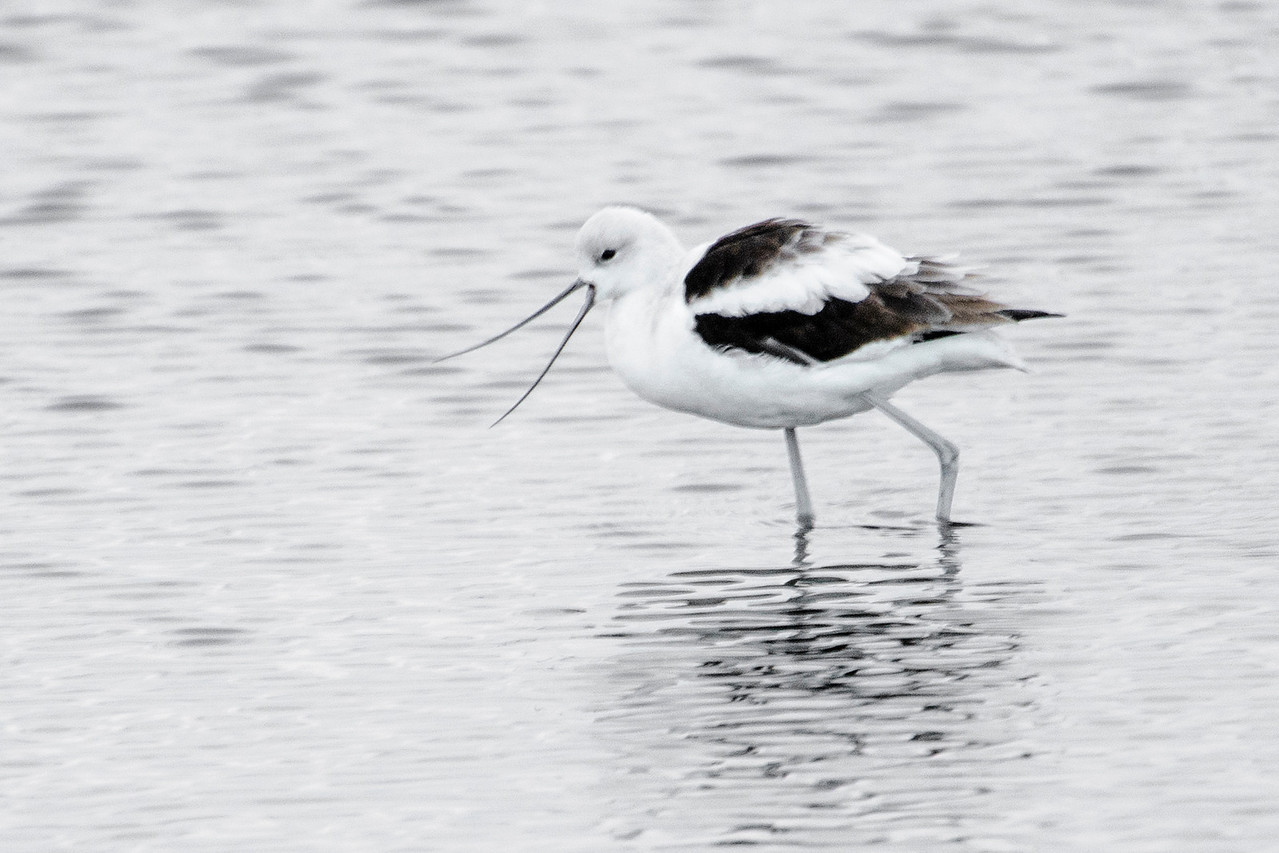 When we're in northern Florida each winter, one of my favorite places to visit is St. Marks National Wildlife Refuge.  I see more bird species there than any other place we visit.  I can usually find American Avocets and, like this one, they are in winter plumage.  I like this picture because the bird is calling and it really emphasizes the long, thin, curved beak.