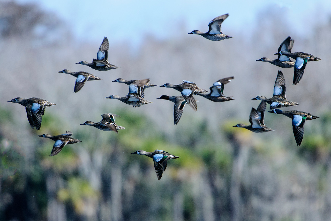 Here's a group of Blue-winged Teal spooked into flight by an Eagle.  You can definitely see how they got their name.