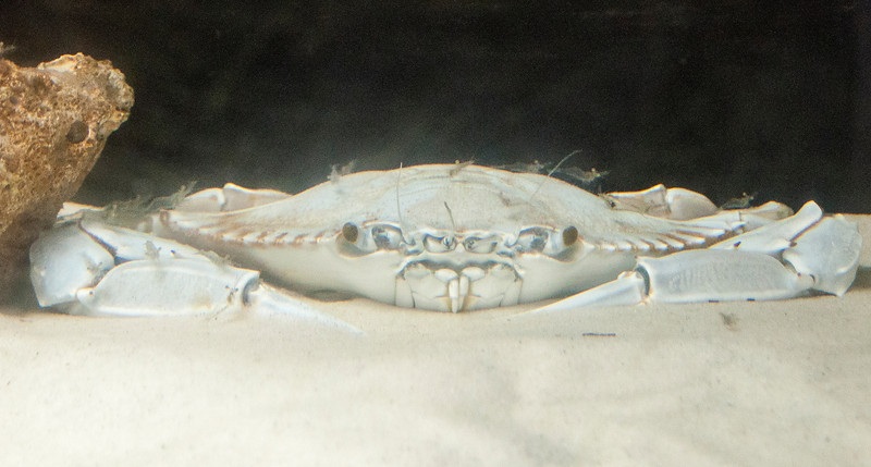 "Here's another Blue Crab from the Gulf Specimen Lab.  It's a very unusual all-white individual.  This condition is called leucism.  I have posted photos of some birds with this condition in previous ""Picture of the Week"" segments.  Here's a link to one of them.  <a href=""http://www.earlorfphotos.com/Pictures-of-the-Week/2010-Pictures-of-the-Week/3-28-2010-Leucistic-Chickadees/11610590_eudYg"">http://www.earlorfphotos.com/Pictures-of-the-Week/2010-Pictures-of-the-Week/3-28-2010-Leucistic-Chickadees/11610590_eudYg</a>"