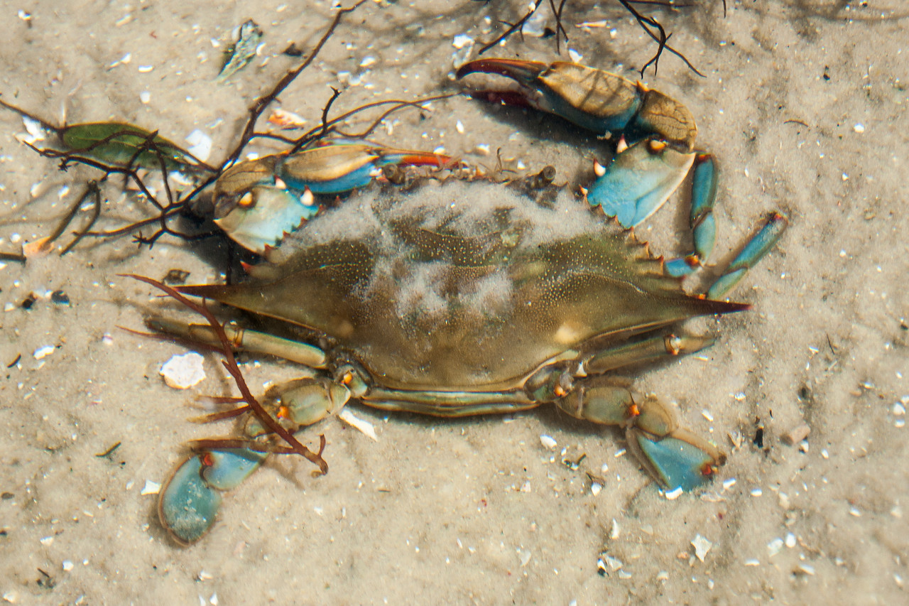 This is not the funny picture; that will be the next one.  But I wanted to show you what a Blue Crab normally looks like.  This photo was taken at the Gulf Specimen Lab in Panacea, Florida.