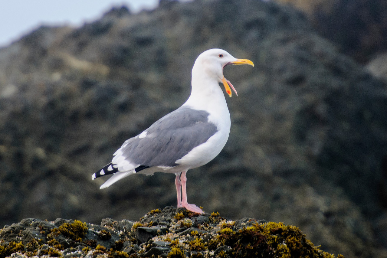 If you take a lot of photos, you eventually end up with some that are just plain funny.  Here are a few of mine from the last several months.  This Western Gull was at Face Rock Wayside in Bandon, Oregon.  It posed nicely on top of a huge rock so I was taking advantage of that and getting some nice shots.  All of a sudden, it opened its mouth very wide and stuck its tongue out!