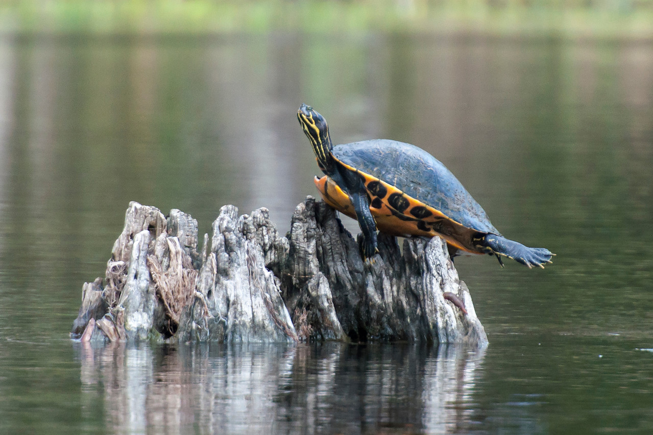 """Here's another photo from the boat trip at Wakulla.  This Suwannee Cooter is sunning itself and looks like it is thoroughly enjoying it.  Can't you just imagine that turtle sighing """"Ahhhhh"""" as it stretches that back leg out?"""