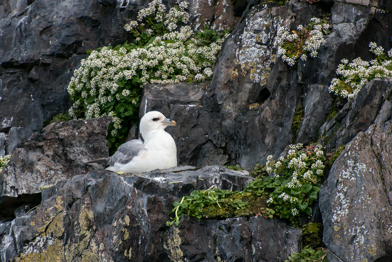 This Fulmar picked a very picturesque site for its nest.  The bird is close enough in this photo that you can see the gray appendage on top of its bill.  It's a tube and the bird's nostrils are located in the tube.  Fulmars drink sea water and they excrete the excess salt from their bodies through this tube.