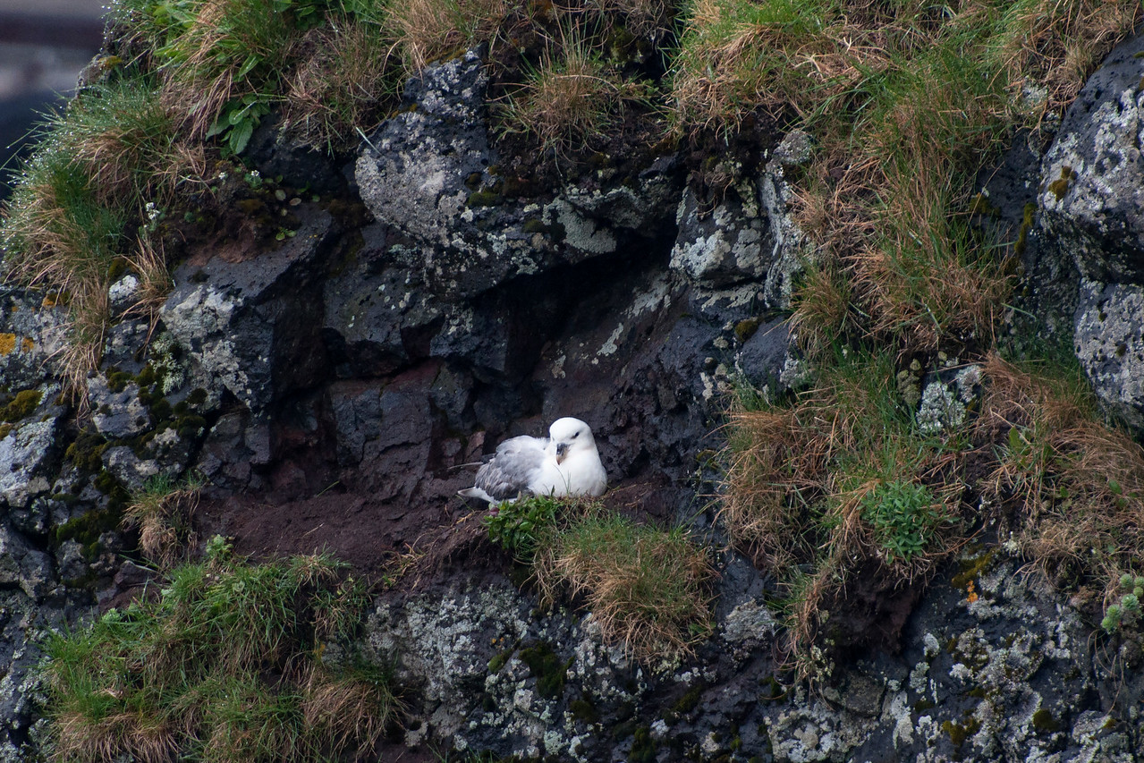 Even though Fulmars seem to prefer places with lots of vegetation, they seek out open spaces or rocky ledges for the actual nest site.