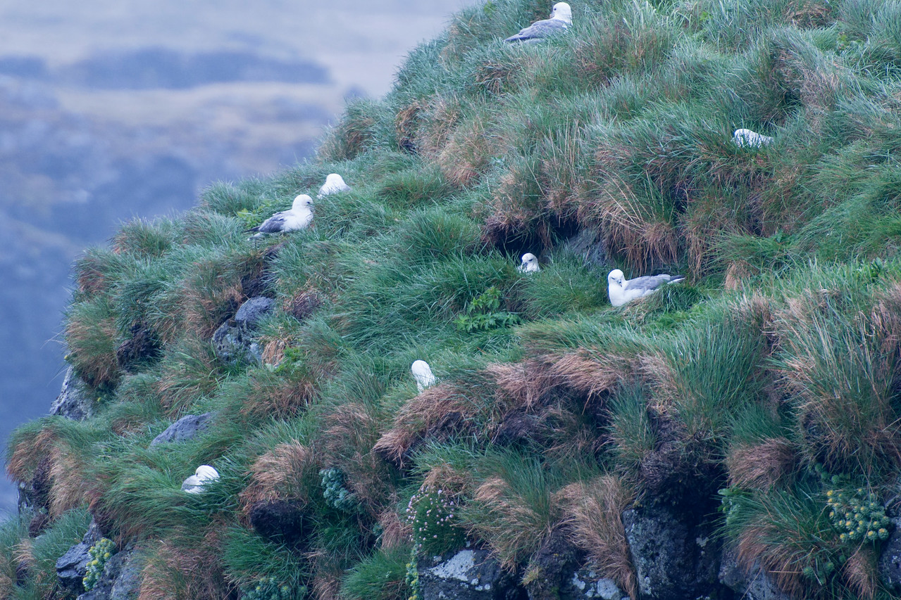 Here's a closer look at a Fulmar nesting area.  This photo was taken in the town of Arnarstapi.  Fulmars do nest in large colonies but they also seem to like some space between their nests