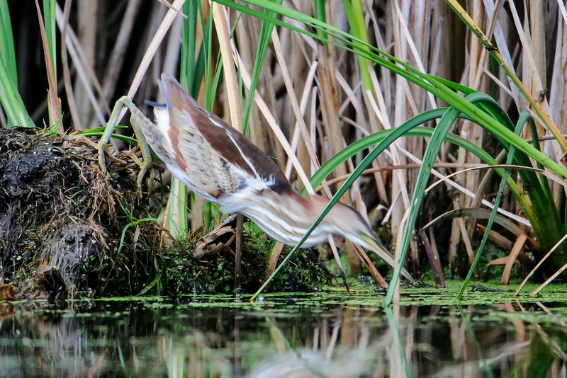 It was a cloudy day, so my camera speed was only 1/400th of a second.  Even so, when the attack came, it was so fast that the head and neck of the bird were blurred while the body stayed in focus.  The Bittern must have kept a very tight hold on the dirt pile to keep from falling in the water from this position.