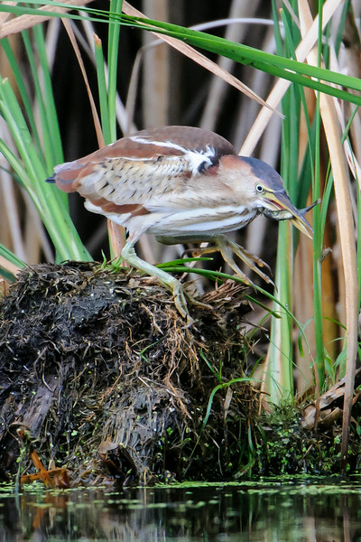 Success!  The Bittern had been watching a small fish and now it was meal time.