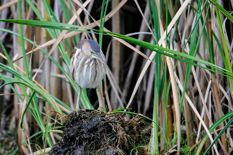 Several times I walked across the boardwalk that bisects one of the ponds at Wood Lake.  Finally, I spotted this Least Bittern standing on a dirt clump on the opposite side of the pond.  Something in the water caught its attention. The Bittern slowly turned its head to keep its prey in sight.