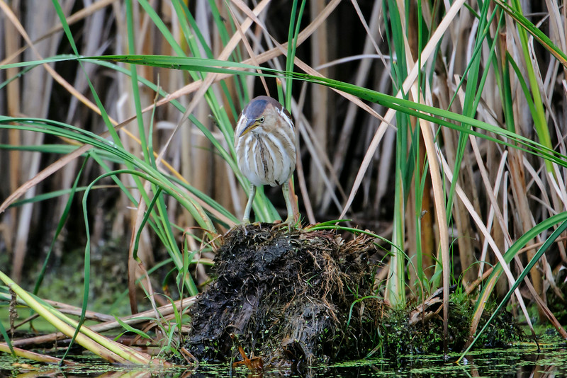 At 13 inches, the Least Bittern is our smallest heron.  It's also a very elusive bird, preferring to stay hidden among the cattails.  Birders hear this bird more often than they see it.  Several people reported seeing Least Bitterns at Wood Lake Nature Center in Richfield, MN, so I went there last week hoping I could get some photos.