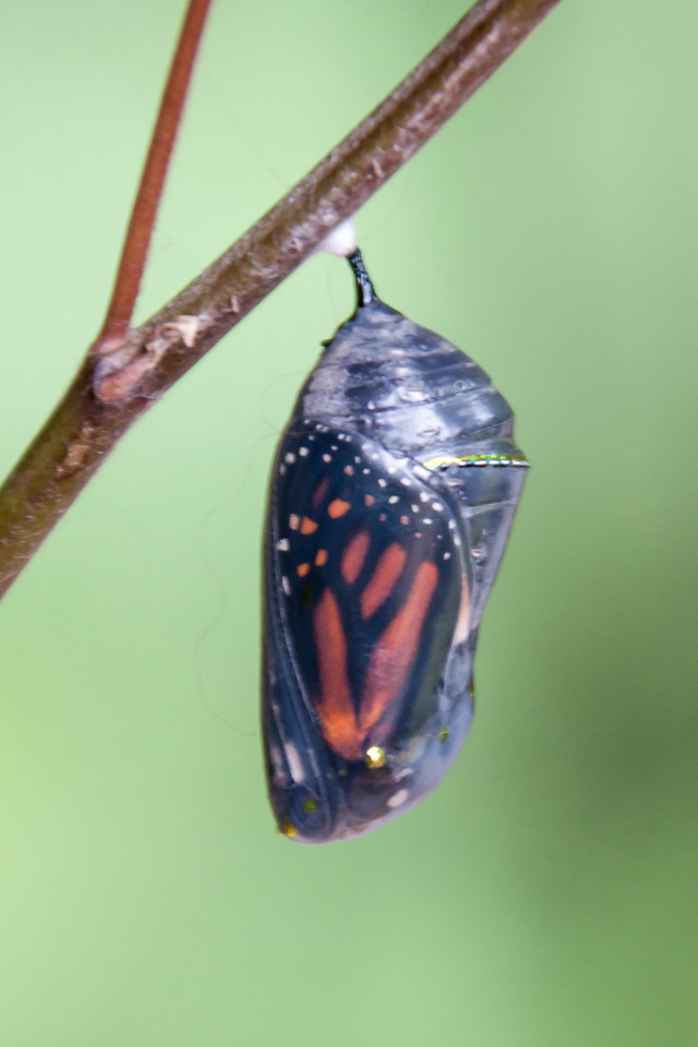 A few days later, the caterpillar transformed into a bright green chrysalis.  However, I neglected to get any photos of this.  On August 24, we knew the butterfly was ready to emerge.  The chrysalis case had become transparent, and you could see the colorful Monarch wings inside.