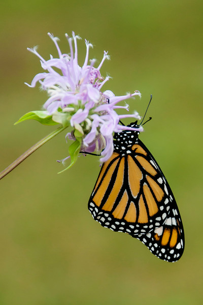 We helped the butterfly onto a Wild Bergamot flower that we picked from our wildflower garden.