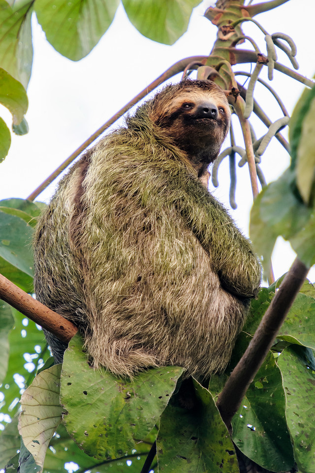 At Lapa Rios Nature Reserve, this Three-toed Sloth was hanging out in a tree right beside the pool.  Its coat is dry but has a green cast to it.  That's because algae actually grows on the fur.  A Three-toed Sloth is about 23 inches long and weighs just less than 9 pounds.  It has an extra vertebrae in its neck which allows it to turn its head about 270 degrees.  That's about the same as an owl.